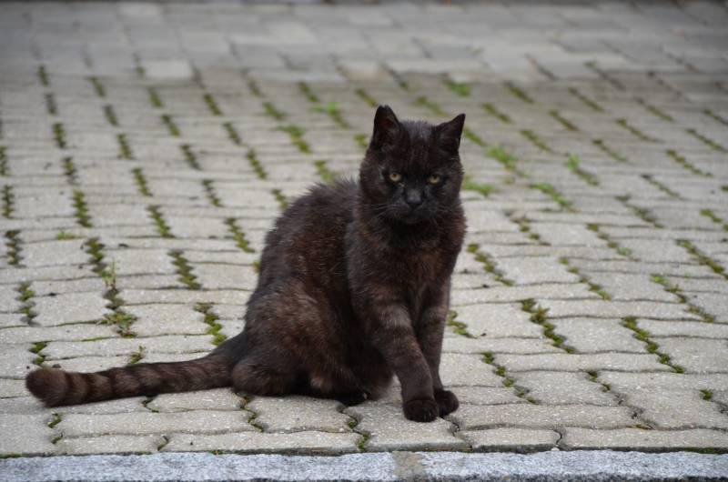 Pisica Austrica