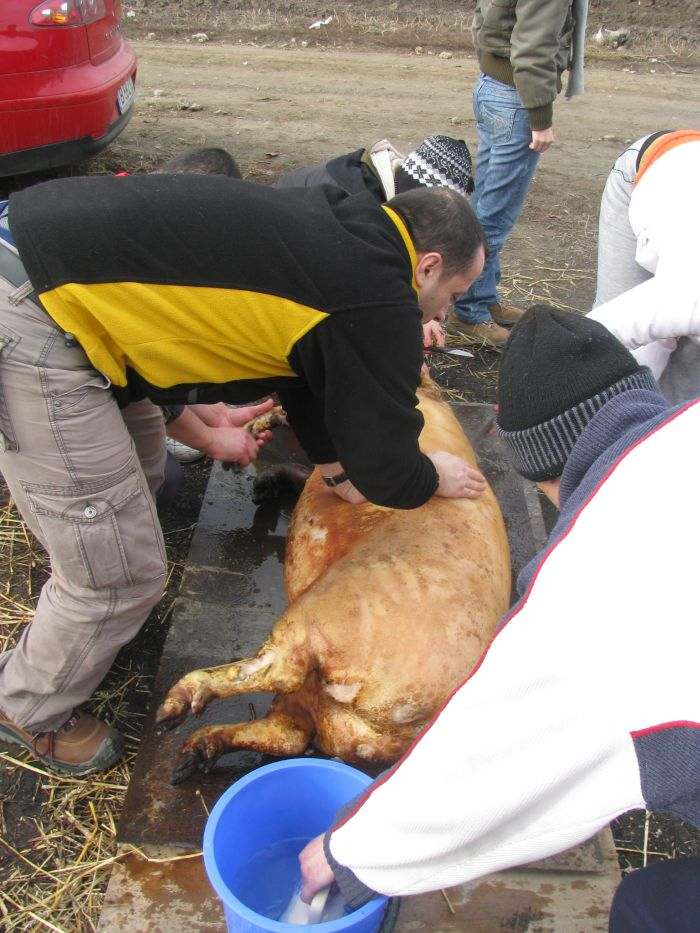 Ignat taierea porcului (6)