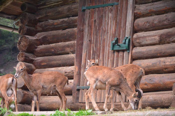 gradina zoo Alpi Austria (3)